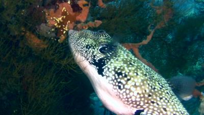 Map pufferfish (Arothron mappa) eating