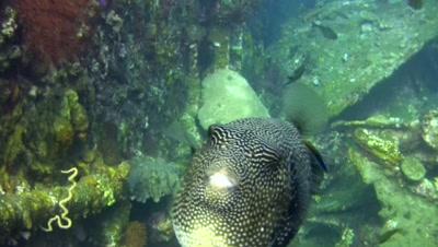 Map pufferfish (Arothron mappa) puffing down