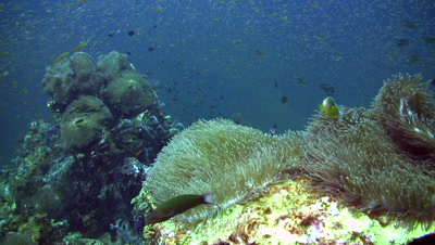 Anemone with skunk anemonefish (Amphiprion sandaracinos) and school of snappers being hunted in the background