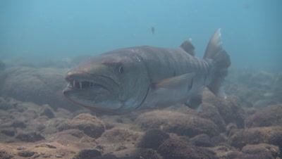 Great barracuda (Sphyraena barracuda) hovering,from side to side