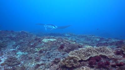 Manta ray (Manta blevirostris) swimming very close with divers behind