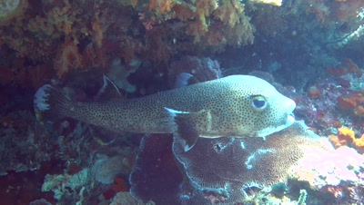 Black spotted porcupinefish (Diodon hystrix) from side to front