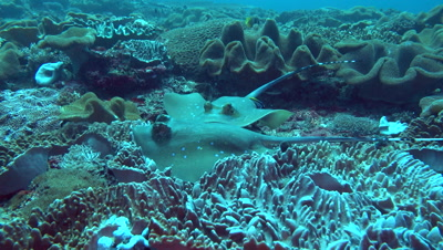 4 Blue-spotted stingray (Dasyatis kuhlii) on top of each other