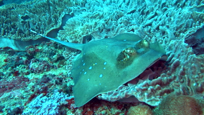 Blue-spotted stingray (Dasyatis kuhlii) close up then swimming away