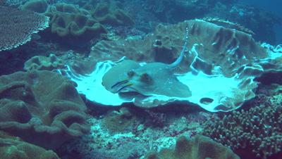 Blue-spotted stingray (Dasyatis kuhlii) close up