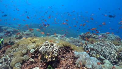Hard and soft coral reef full of tropical fishes with starry pufferfish (Arothron stellatus)