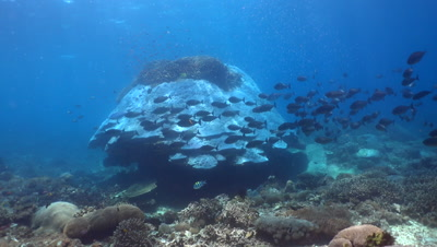 Huge hard coral boomie with school of sleek unicornfish (Naso hexacanthus)