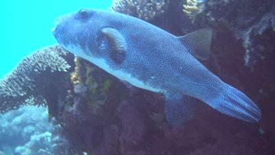 Starry pufferfish (Arothron stellatus) from side