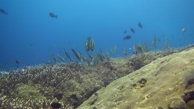 Hard coral reef with group of tall-fin batfish (Platax teira)