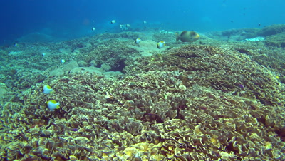 Huge field of lettuce coral full of colourful anthias and other tropical fishes