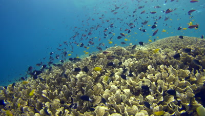 Huge field of lettuce coral full of damselfishes and other tropical fishes