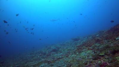 Dogtooth tuna (Gymnosarda unicolor) cruising around tropical fishes