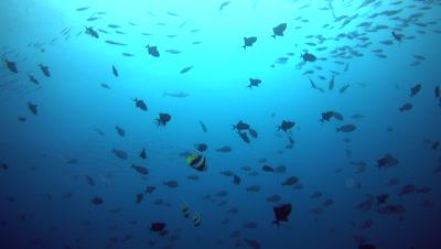 Dogtooth tuna (Gymnosarda unicolor) cruising around schools of tropical fishes