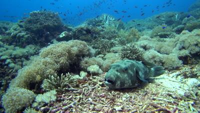Starry pufferfish (Arothron stellatus) laying down on coral then swimming away