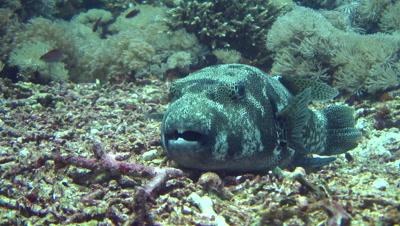 Starry pufferfish (Arothron stellatus) close up