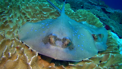 Bunch of blue-spotted stingrays (Dasyatis kuhlii) resting on soft coral