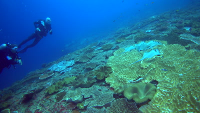 Bunch of blue-spotted stingrays (Dasyatis kuhlii) resting on soft coral with divers behind