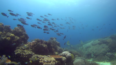 School of sleek unicornfish (Naso hexacanthus) swimming over coral reef
