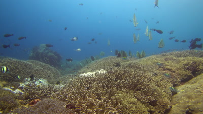 Hard and soft coral reef with group of tall-fin batfish (Platax teira)