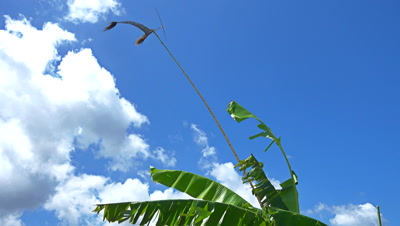 Banana tree leafs moving with the wind and bamboo pole equipped with spinning blades making noise to scare birds