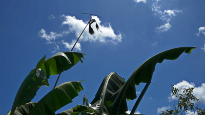 Banana tree leafs moving in the wind with bamboo bird scarer turning, slow motion