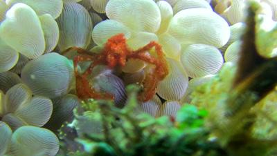 Orangutan crab (Achaeus japonicus) on bubble coral