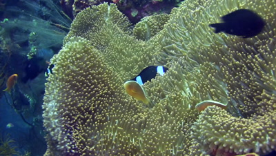 Clarks anemonefish (Amphiprion clarkii) and skunk anemonefish (Amphiprion sandaracinos) sharing anemone