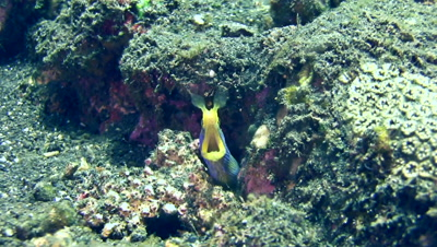 Ribbon eel (Rhinomuraena quaesita) blue and yellow, close up