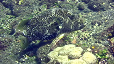 Map pufferfish (Arothron mappa) missing its caudal fin (tail), eating