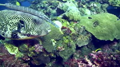 Map pufferfish (Arothron mappa) with trumpetfish (Aulostomus chinensis) swimming together