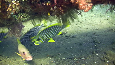 Yellow-ribbon, oblique-banded and oriental sweetlips next to each other
