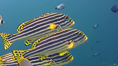 Oriental sweetlips (Plectorhinchus vittatus) close up