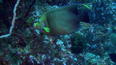 Semicircle angelfish (Pomacanthus semicirculatus)