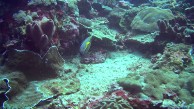 Emperor angelfish (Pomacanthus imperator) eating