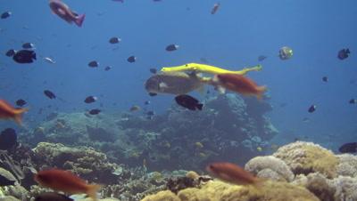 Yellow boxfish (Ostracion cubicus) swimming with yellow trumpetfish (Aulostomus chinensis)