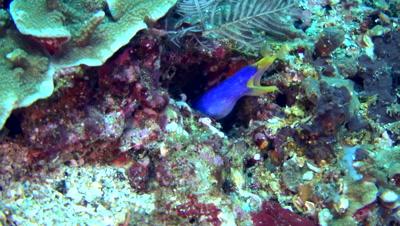 Ribbon eel (Rhinomuraena quaesita) blue and yellow