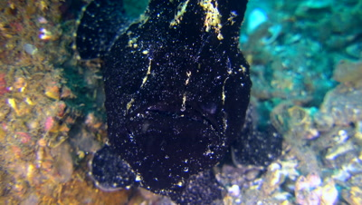 Giant frogfish (Antennarius commerson) black, close up