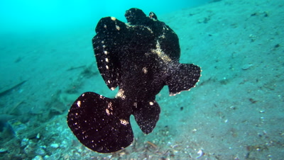 Giant frogfish (Antennarius commerson) black, swimming over sand