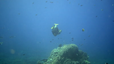 2 Titan triggerfish (Balistoides viridescens) swimming in circle after each other