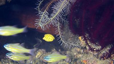 Tiny juvenile yellow boxfish (Ostracion cubicus) hiding among feather stars