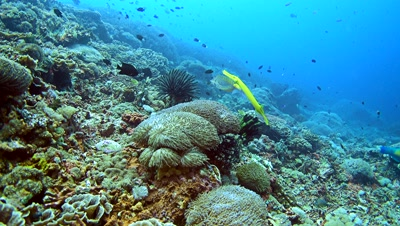 Yellow boxfish (Ostracion cubicus) followed by yellow trumpetfish (Aulostomus chinensis) swimming over healthy coral reef