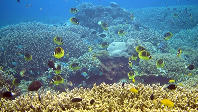 Big group of racoon butterflyfishes (Chaetodon lunula) swimming over acropora coral