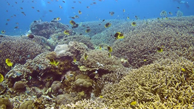 Big group of racoon butterflyfishes (Chaetodon lunula) swimming over acropora coral with divers in the background