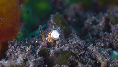 Christmas tree worm (Spirobranchus giganteus) coming out of its hole