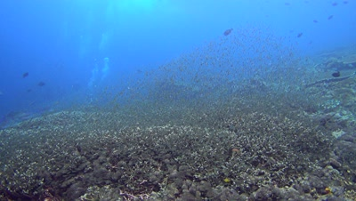 Massive cloud of fishes swimming over healthy reef, chased by bluefin trevally (Caranx melampygus)