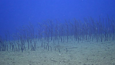 Field of brown garden eel (Heteroconger longissimus)