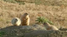 Black-Footed Prairie Dogs Jump-Yip Territorial Calls