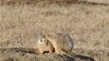 Black-Footed Prairie Dog Grooms Partner On Den
