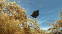 Loggerhead Sea Turtle Hatchling, Caretta Caretta, Bobbing In Sargassum