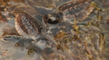 Loggerhead Sea Turtle Hatchlings, Caretta Caretta, In Sargassum